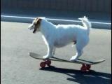 собака на скейте=)